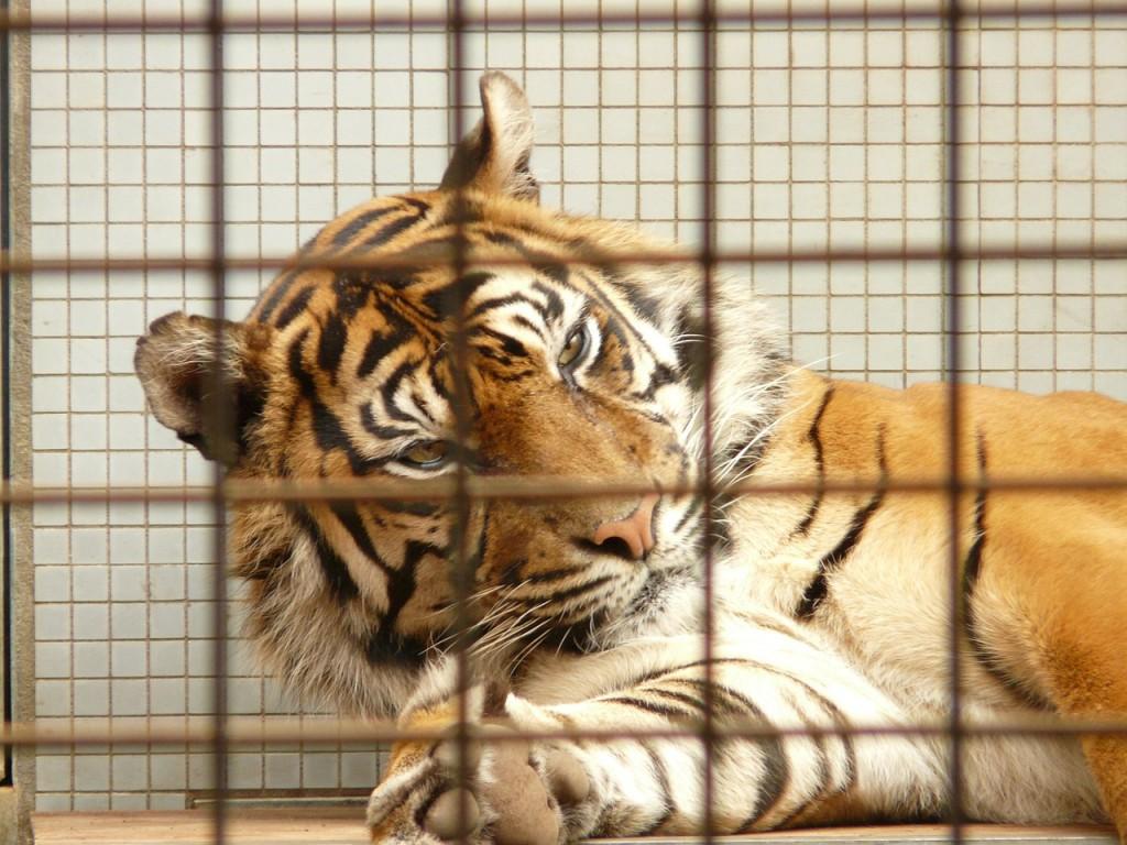 sumatran-tiger-77081_1280