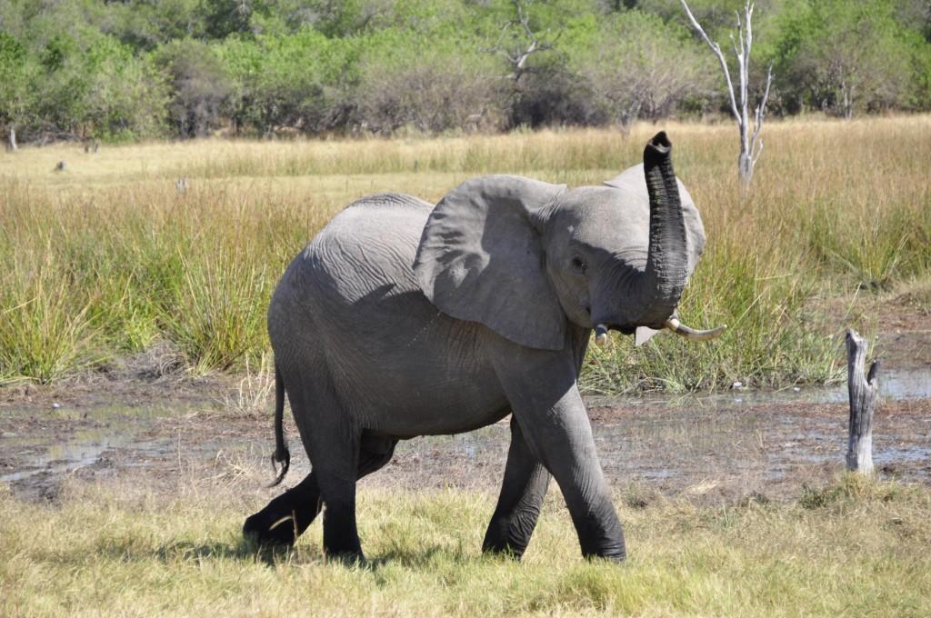 elephant_animal_africa