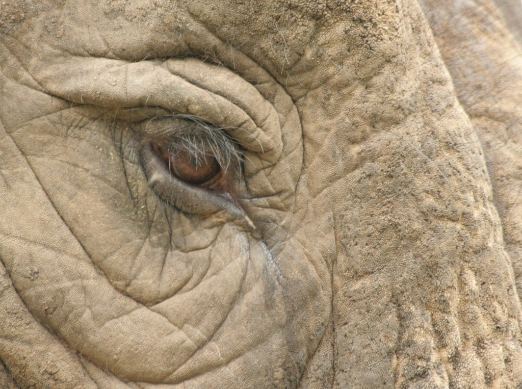 elephant_eye_africa