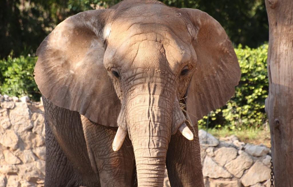 elephant_face_posing