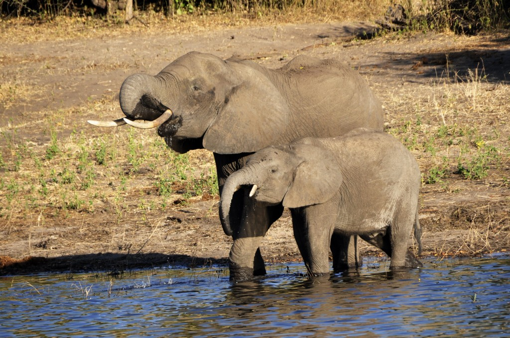 elephant_water_elephant_elephant_calf