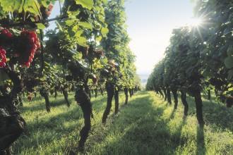 Alsacen viiniviljelmiä, kuva: CRTA Zvardon