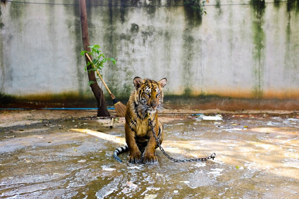 tiger chained for entertainment