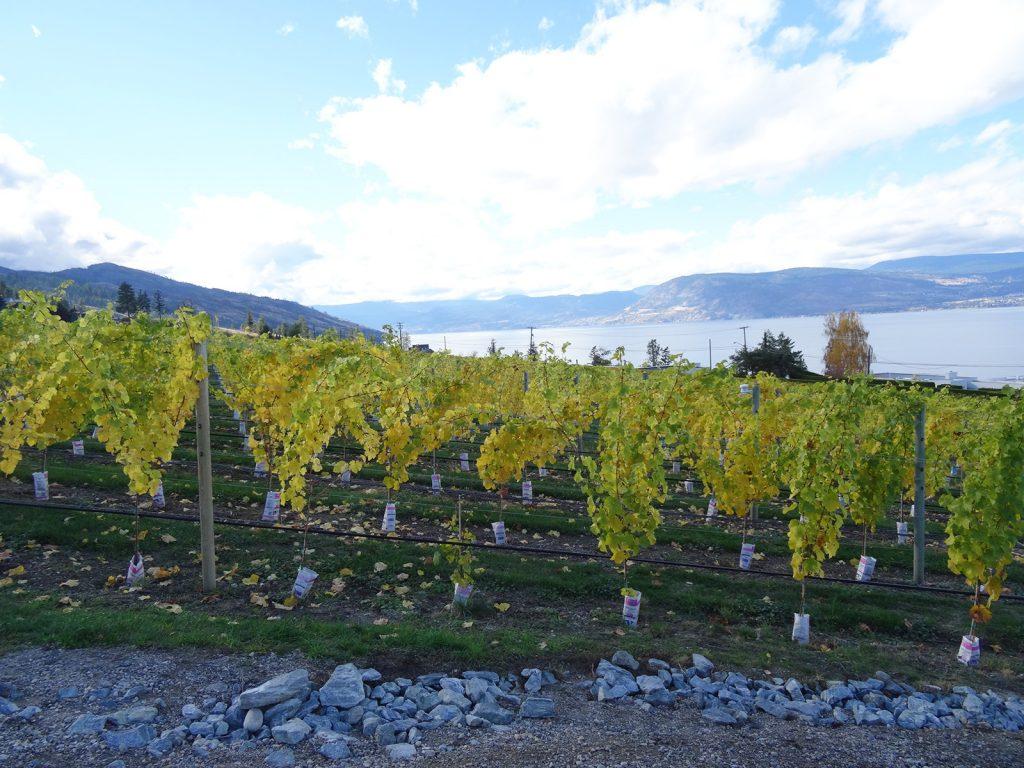 viinitila Kanadassa
